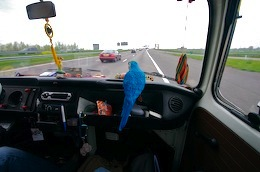 A blue parrot sitting on the dash of a van