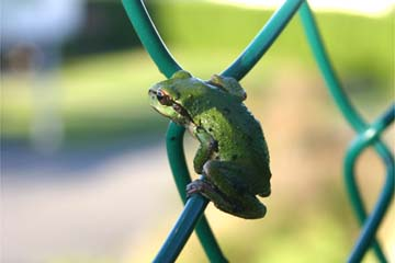 Small green frog on a chain-link fence