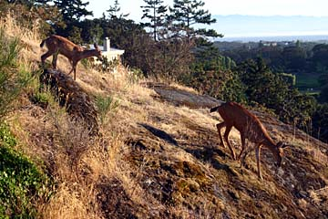 Two deer walk on a hill